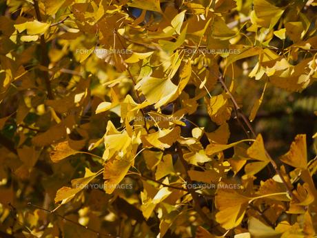 黄葉している銀杏の葉の素材 [FYI00252358]