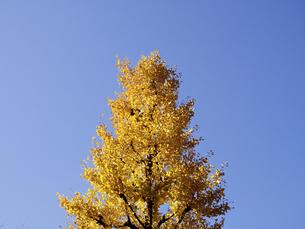 晴天下、黄葉した1本の銀杏の素材 [FYI00252360]