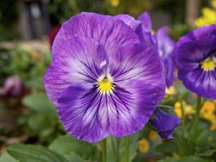 紫色パンジーの素材 [FYI00252365]