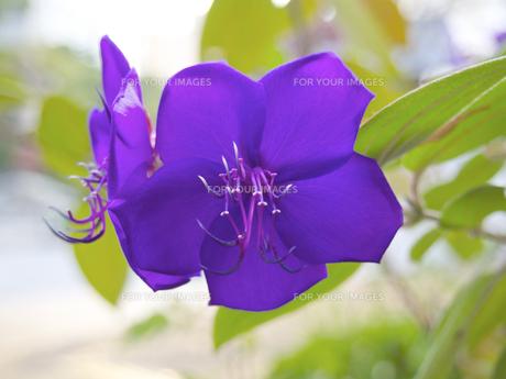 シコンノボタン (紫紺野牡丹 = スパイダーフラワー)の素材 [FYI00252366]