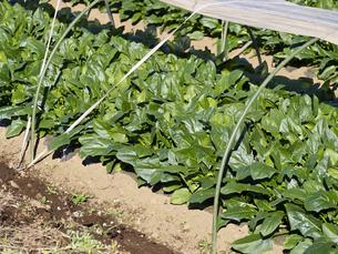 ハウス栽培中の、ほうれん草の写真素材 [FYI00252373]
