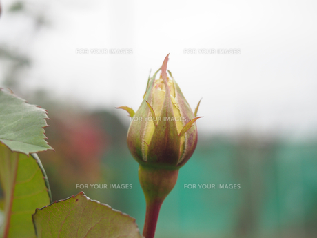 クリーム色の薔薇の蕾(曇り空)の素材 [FYI00252374]