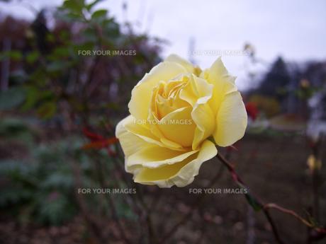 クリーム色の薔薇の花(曇り空)の素材 [FYI00252377]