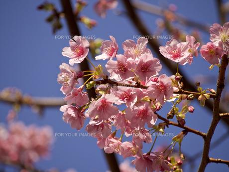 河津桜の素材 [FYI00252393]