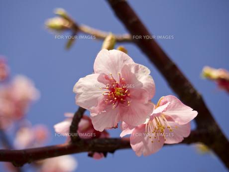 河津桜(寄り)の素材 [FYI00252394]