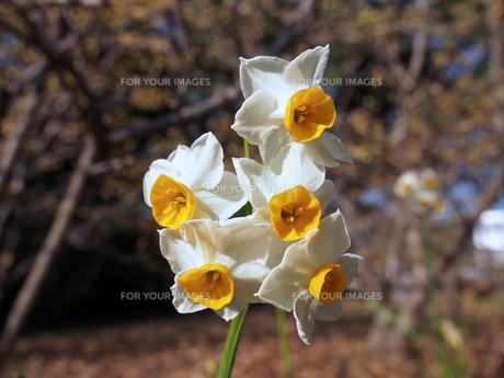 日本水仙の花の素材 [FYI00252399]