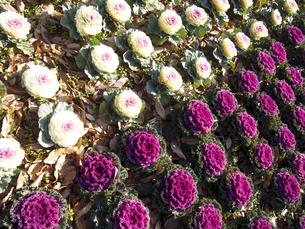 2色の葉牡丹(寄せ植え、斜め)の素材 [FYI00252402]