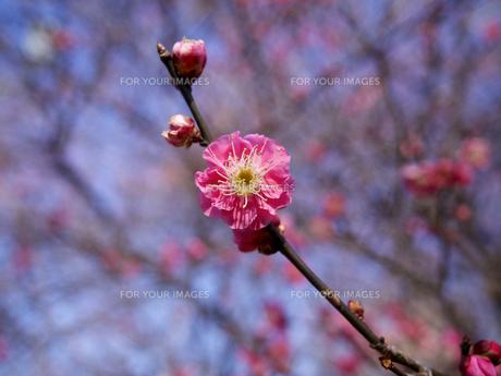早咲きの紅梅の素材 [FYI00252404]