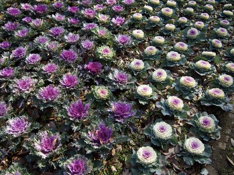 2色の葉牡丹(花壇)の素材 [FYI00252405]