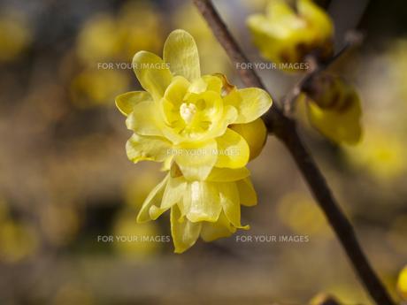 ロウバイの花の素材 [FYI00252408]
