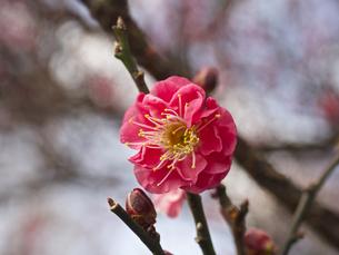 早咲きの紅梅の素材 [FYI00252409]