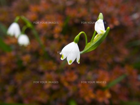 スノーフレークの花の素材 [FYI00252423]