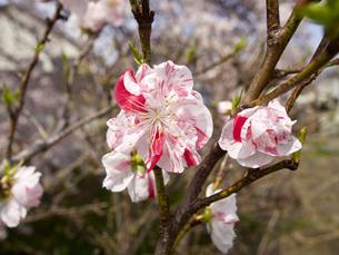 ハナモモの花の素材 [FYI00252424]