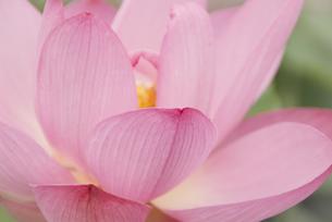 蓮の花の写真素材 [FYI00252428]