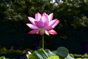 ハスの花の写真素材 [FYI00252656]