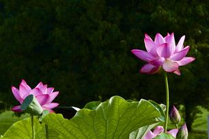 ハスの花の写真素材 [FYI00252671]