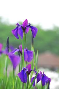 群馬県館林市 菖蒲祭り 満開のアヤメの写真素材 [FYI00253129]