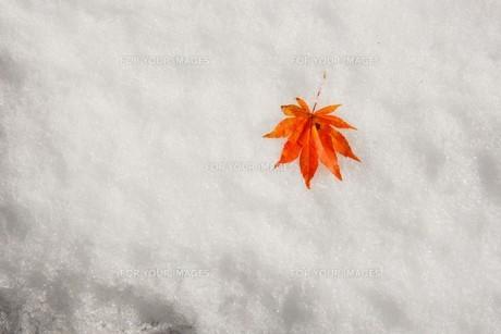 雪上の紅葉の素材 [FYI00253144]