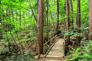 長野県 赤沢自然休養林 ハイキングの写真素材 [FYI00253151]