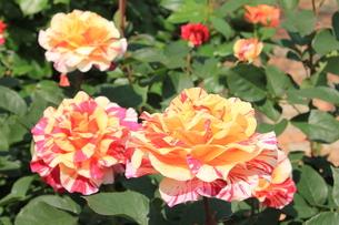 黄と赤の絞り模様のバラの素材 [FYI00253161]