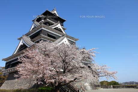熊本城天守閣と満開の桜の写真素材 [FYI00253166]
