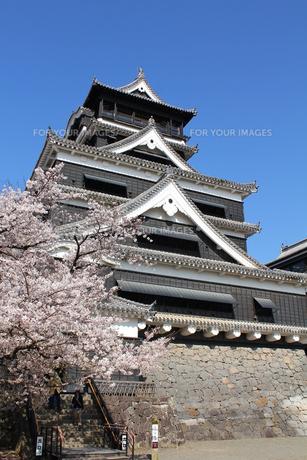 熊本城天守閣と満開の桜の写真素材 [FYI00253168]