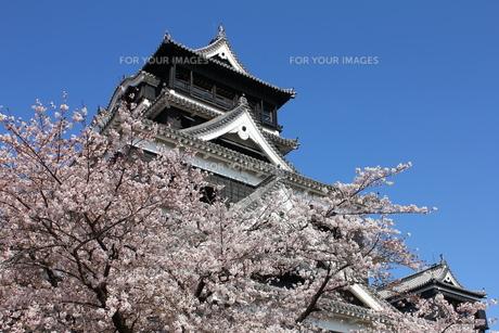 熊本城天守閣と満開の桜の写真素材 [FYI00253175]