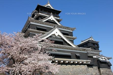 熊本城天守閣と満開の桜の写真素材 [FYI00253178]