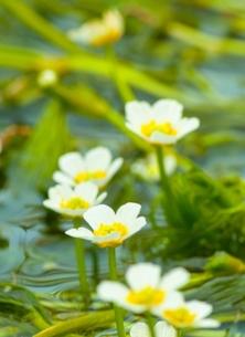 梅花藻の写真素材 [FYI00253180]