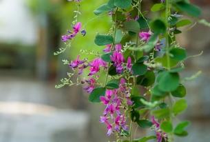萩の花の写真素材 [FYI00253212]