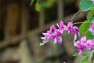 萩の花の写真素材 [FYI00253221]