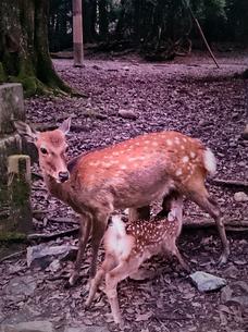 鹿の親子の写真素材 [FYI00253372]