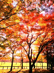 芝生と紅葉の写真素材 [FYI00253396]