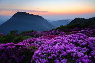 鶴見岳のミヤマキリシマの写真素材 [FYI00253536]