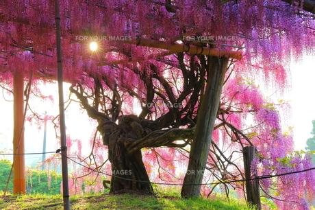 河内藤園の藤の写真素材 [FYI00253827]