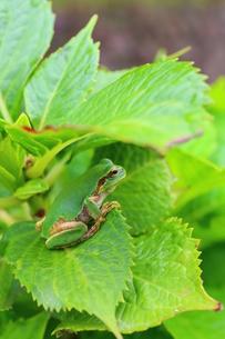 葉の上のカエルの写真素材 [FYI00253909]