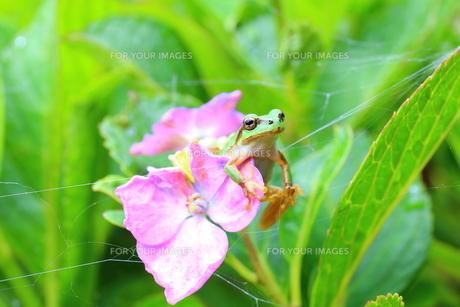 引っかかったカエルの写真素材 [FYI00253918]