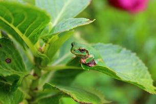 葉の上のカエルの写真素材 [FYI00253933]