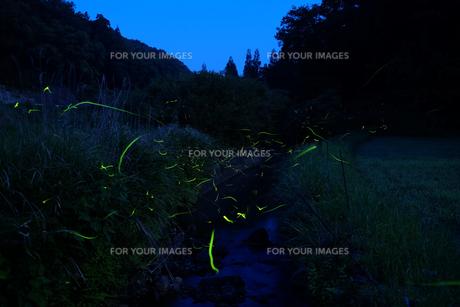 月夜のゲンジボタルの写真素材 [FYI00254161]
