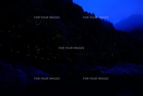 ゲンジボタルの写真素材 [FYI00254176]