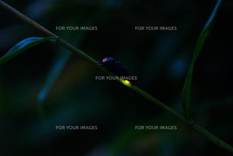 ゲンジボタルの写真素材 [FYI00254180]
