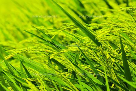 稲の写真素材 [FYI00254220]
