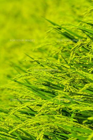 稲の写真素材 [FYI00254226]