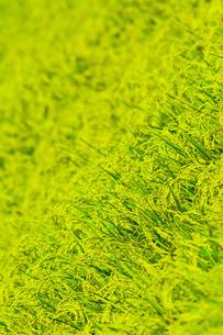 稲の写真素材 [FYI00254241]
