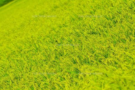 稲の写真素材 [FYI00254243]