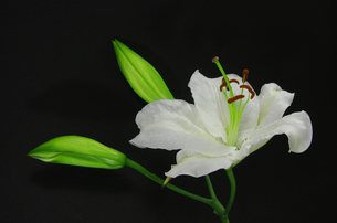 白い百合の花・カサブランカの写真素材 [FYI00254345]