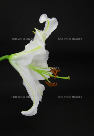 白い百合の花・カサブランカの素材 [FYI00254350]