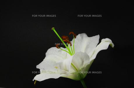 白い百合の花・カサブランカの素材 [FYI00254355]