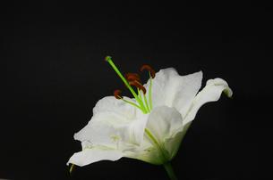 白い百合の花・カサブランカの写真素材 [FYI00254355]