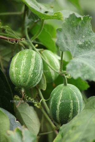 青いカラス瓜の写真素材 [FYI00254420]